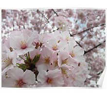 Cherry Blossoms 13 Poster