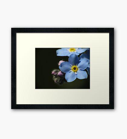 Forget-Me-Nots 1 Framed Print