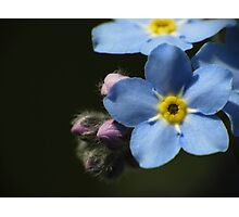 Forget-Me-Nots 1 Photographic Print