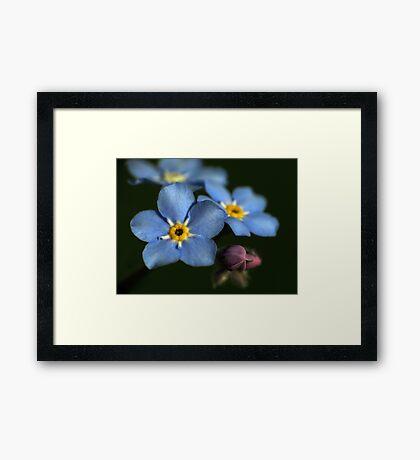 Forget-Me-Nots 3 Framed Print