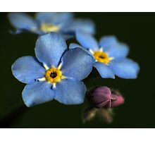 Forget-Me-Nots 3 Photographic Print