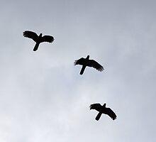 Yellow Tailed Black Cockatoos by Traffordphotos