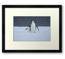 Grumpy little penguin Framed Print
