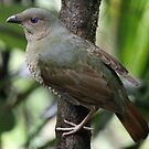 Satin Bowerbird (Female) by triciaoshea