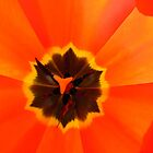 Colourful tulip close-up by Susanna Hietanen