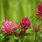 Simple beauty of red clover by steppeland