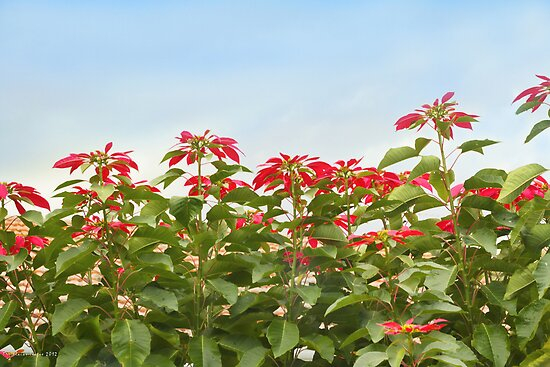 Poinsettias en Masse by Elaine Teague