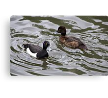 Male and Female Tufted ducks. Canvas Print