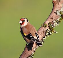 Goldfinch by Maria Gaellman