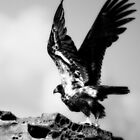 Juvenile Eagle Taking Off. by toby snelgrove  IPA