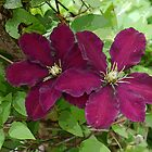 Clematis Splendour  by hootonles