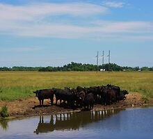 Angus Cow's at the Watering Hole by ROBERTDBROZEK