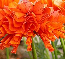 Ruffled Ranunculus by Nina-Rosa