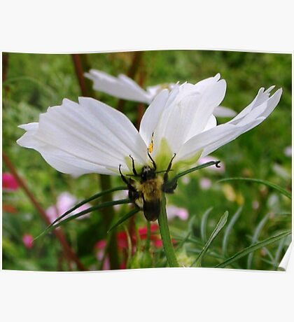 Bumble Bee on Cosmos Poster