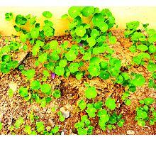 Nasturtium Leaves Photographic Print