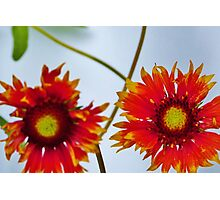 """Indian Blanket Flower """"looking at you"""" Photographic Print"""