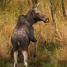 I'm outa here - Moose, Algonquin Park, Canada by Jim Cumming