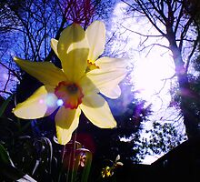 Sunlight Bursting through Daffodils by LydiaWoods