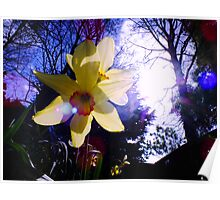 Sunlight Bursting through Daffodils Poster