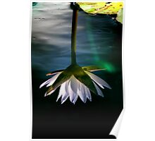 Water Lilly Reflection Poster