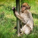 Pole Dancing Macaque Style by Teresa Zieba