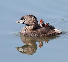 """Mom!...Timmy won't move over!"" Pied-billed grebes by Jim Cumming"