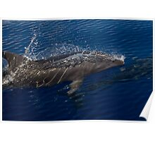 Bottlenose Dolphin Surfacing Poster