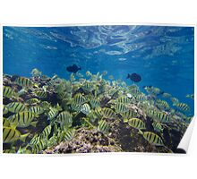 Convict Tangs and Triggerfish Poster