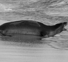 Barking Hawaiian Monk Seal by thatche2