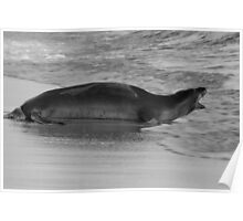 Barking Hawaiian Monk Seal Poster