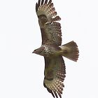 Buzzard in Flight by Hertsman