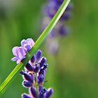 Lovely Lavender by Hilda Rytteke