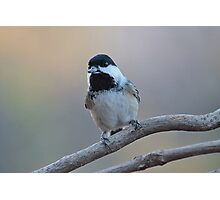 Chickadee with sunflower seed Photographic Print