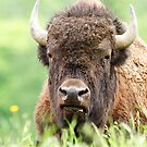 Bison by Jim Cumming