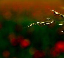 Poppy fields 3 by x- pose