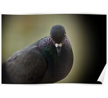 shy pigeon Poster