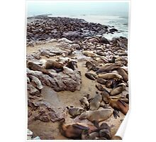 South African Fur Seal Colony Poster