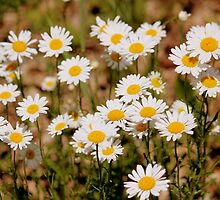 A  Bunch of Daisies by Rosanne Jordan
