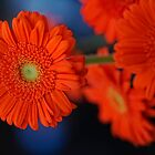 Orange Gerbera Daisy by Dana Horne