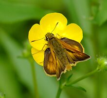 Skipper Moth On A Buttercup by Tracy Faught