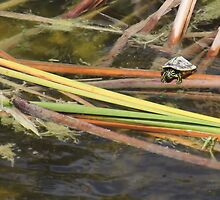 Teeny Tiny Turtle by Rosalie Scanlon