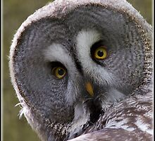 Great Grey Owl by alan tunnicliffe