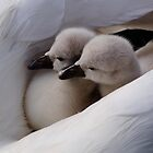 Twin swan babies by Javimage