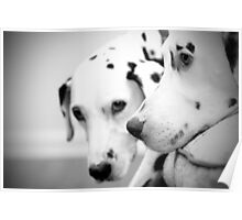two Dalmatians on the sofa Poster