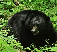 resting bear by dc witmer