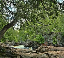 Old Cedar by by M LaCroix