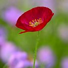 Single Red Poppy  by Saija  Lehtonen