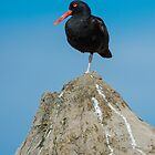 Oyster Catcher Resting by toby snelgrove  IPA