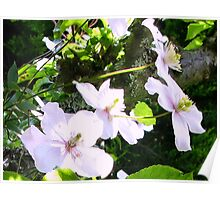 Pale Clematis Flowers Poster