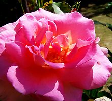 Beautiful Rose by James Brotherton